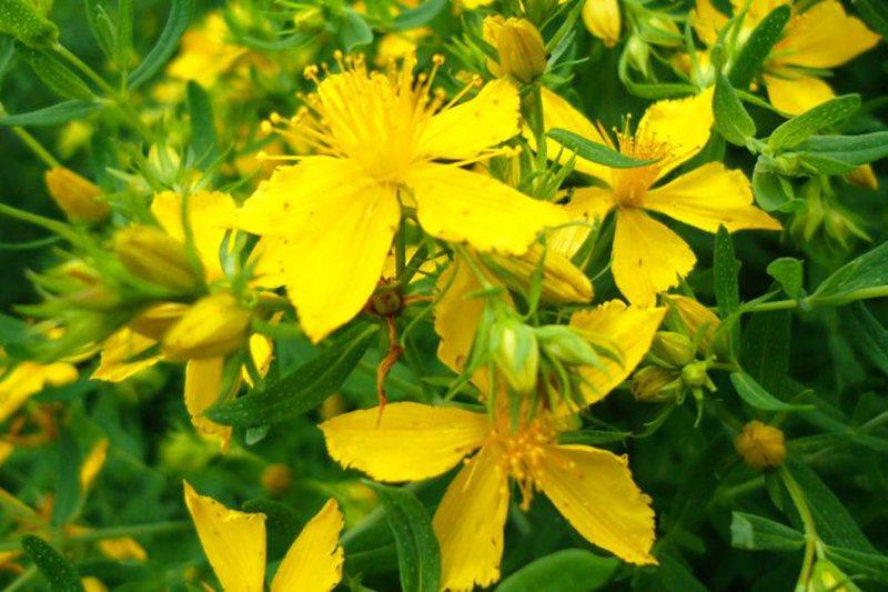 Kërkohet shumë nga të huajt, me këtë lule mund të