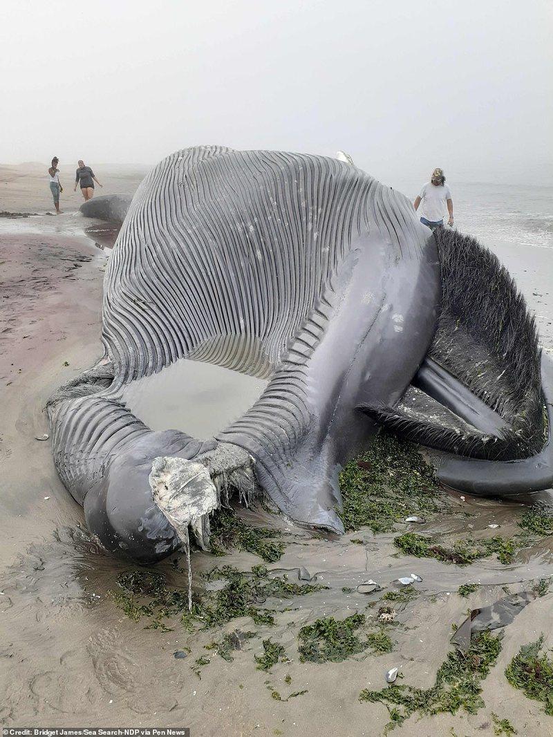 Shokohen kalimtarët/ Gjendet krijesa gjigante në breg të detit,