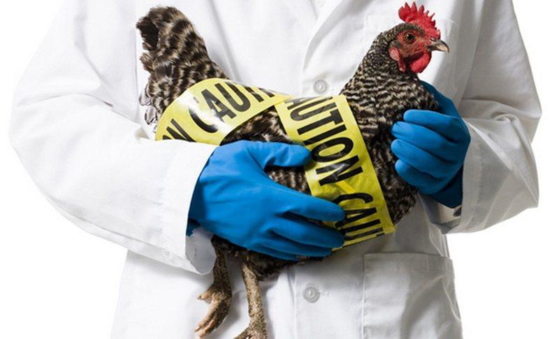 A ka rrezik nga konsumimi i mishit dhe vezëve? Paniku nga gripi i
