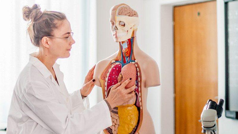 Dhjetë organet më të rënda në trupin tonë,