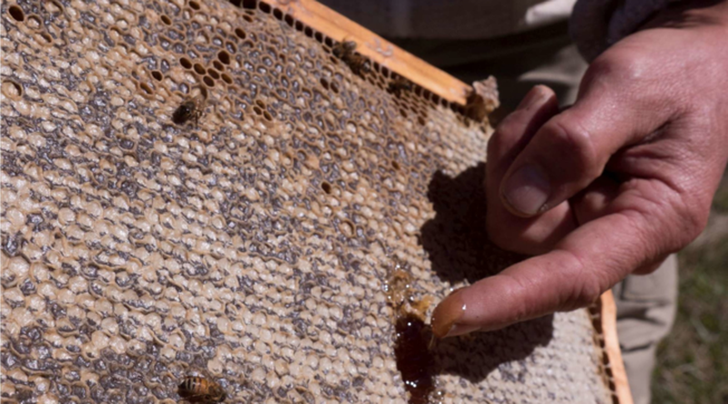 """""""Manuka"""" honey with miraculous effects on health puts two countries in"""